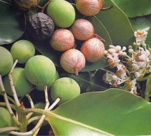 Tamanu oil for sunburn